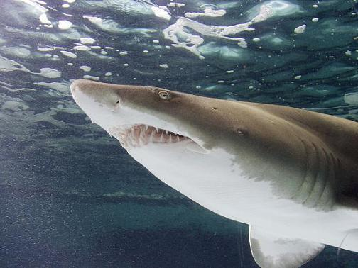 A Sand Tiger Shark is one of the main attraction at the Aquarium of the Pacific. Photo: Courtesy of the Aquarium of the Pacific