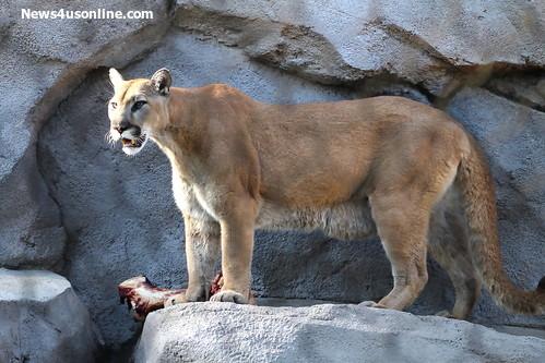 A mountain lion poised to eat dinner. Photo Credit: Dennis J. Freeman/News4usonline.com